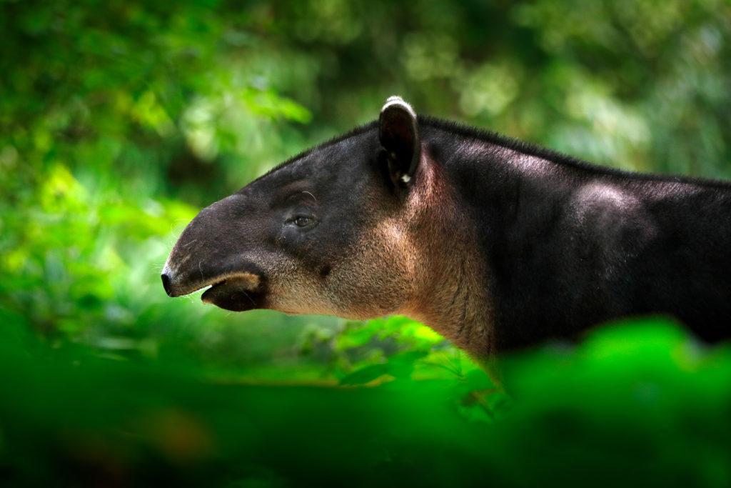 Tapir (Shutterstock)